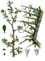 basalmier phytothérapie