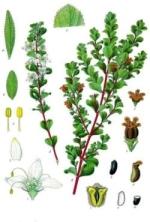 buchu phytothérapie