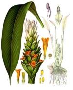 curcuma phytothérapie