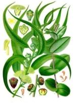 eucalyptus phytothérapie