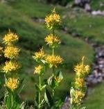 gentiane jaune phytothérapie