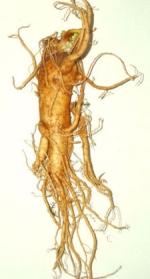 ginseng phytothérapie