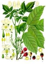 garana phytothérapie