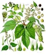 houblon phytothérapie
