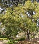 margousier phytothérapie