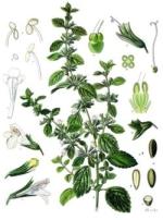 mélisse phytothérapie